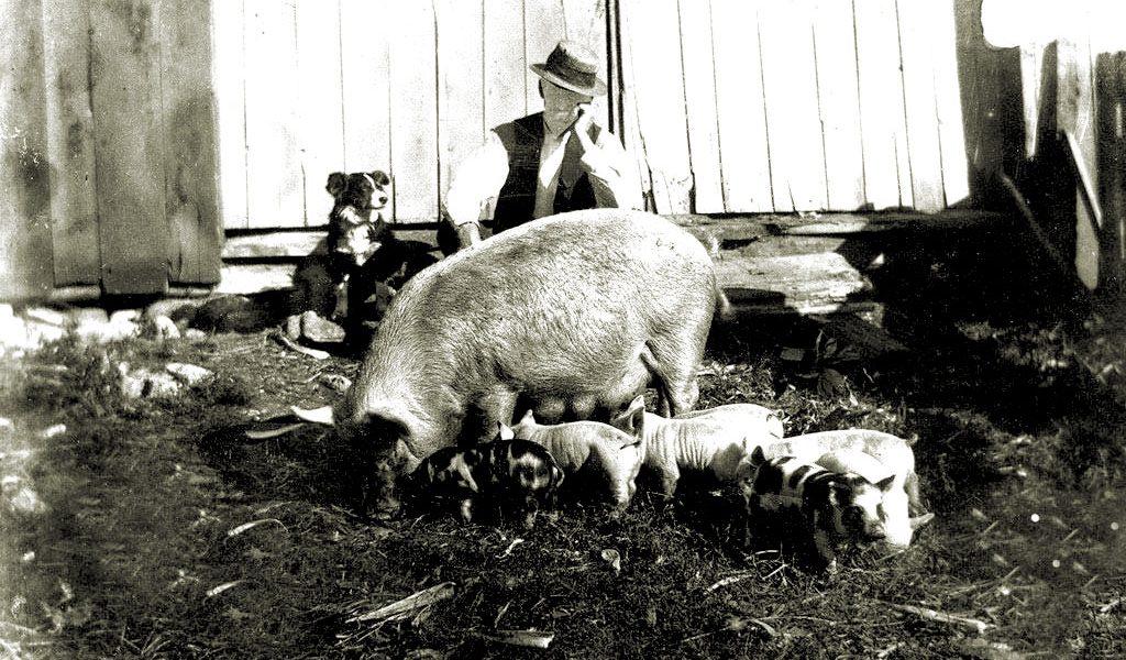 Dan Brown and pigs