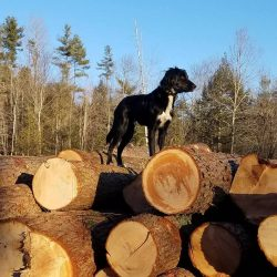 dog on logs