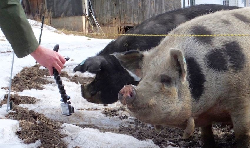 A hand taking pictures of two hogs